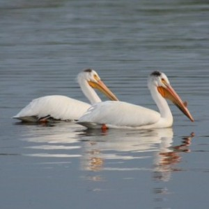 pelicans at the cottage