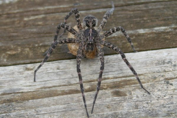 dock spider (fishing spider ) with egg sac